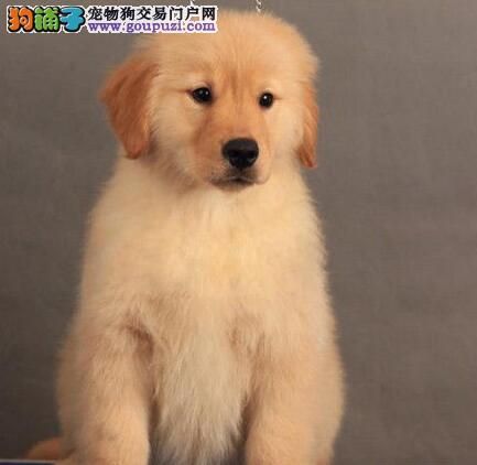南京犬舍直销多只金毛犬 公母均有健康品质 售后有保证