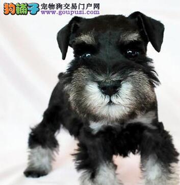 兰州犬舍出售白胡子老头雪纳瑞幼犬 灰色黑色可选1