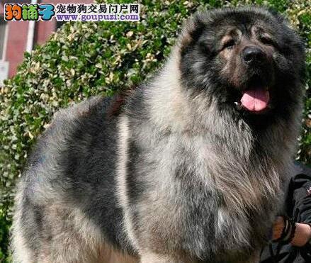 广州狗场繁殖出售血统纯正的高加索犬 狼青色熊版