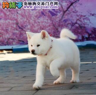 长治出售秋田犬忠犬八公的后代日系秋田犬身体强壮好养
