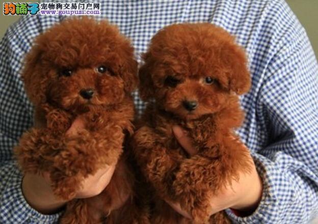 秦皇岛家养精品泰迪熊犬转让保证健康疫苗已做3