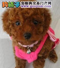重庆什么地方有卖贵宾犬售贵宾纯种健康可上门看