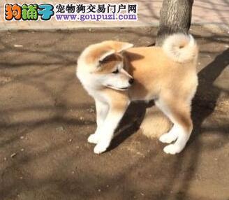 信誉第一品质第一精品秋田幼犬西宁特价出售 血统纯正