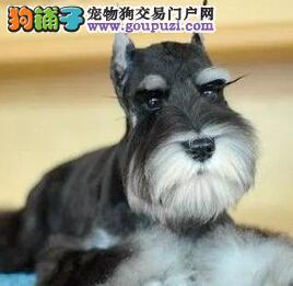 北京朝阳直销纯种雪纳瑞 精品带CKU小老头 包纯种