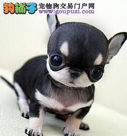 大眼睛品相极佳的青岛吉娃娃幼犬出售 一分价钱一分货