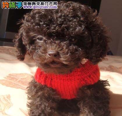 赤峰出售极品贵宾犬品相好终身售后 多种颜色3个月退换