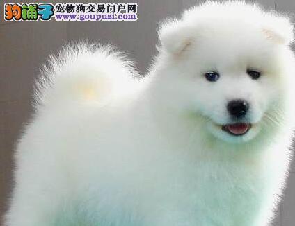 直销微笑天使萨摩耶 品质纯哈尔滨同城可免费送狗