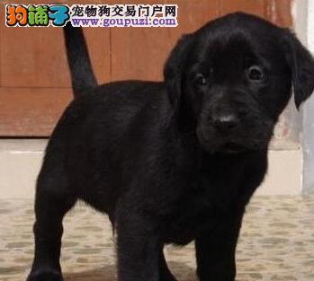 极品优秀北京拉布拉多犬低价转让 冠军级拉登血系