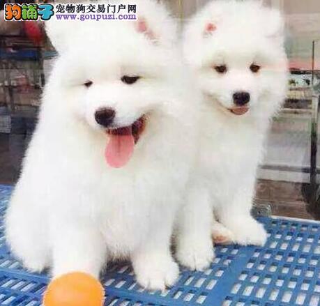赤峰出售纯种干净高颜值萨摩耶犬随时上门参观选狗