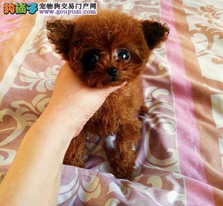 景德镇家养赛级泰迪犬宝宝品质纯正保终身送用品2