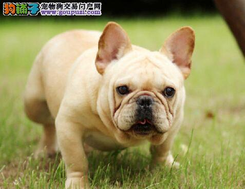 出售多种颜色的贵阳斗牛犬 签订合法的售后协议书