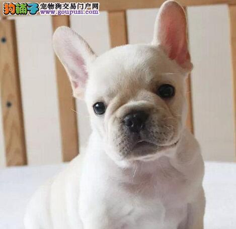 武汉出售血统纯种法国斗牛犬狗狗奶油白色黑白黑法牛