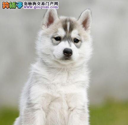贵阳繁殖基地低价出售哈士奇幼犬 三把火双蓝眼品相