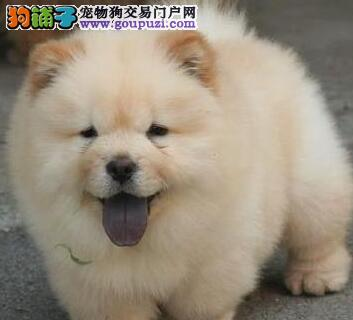 基地直转让大毛量广州松狮犬驱虫已做保证售后