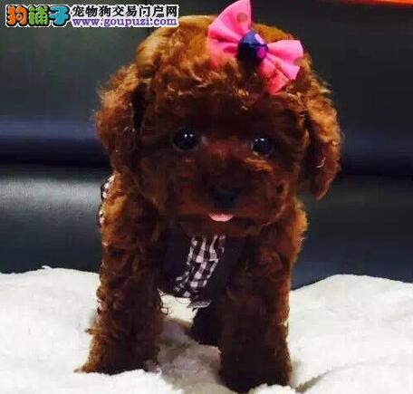 赤峰卷毛小体泰迪犬出售 方便携带的玩具犬健康好养活