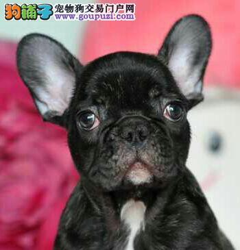 太原斗牛犬繁殖基地出售纯种法国斗牛犬 赛级品质