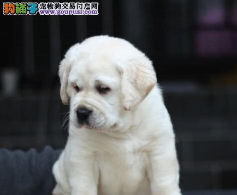 养殖基地繁殖哪里有卖冠军级拉登血系南京拉布拉多犬
