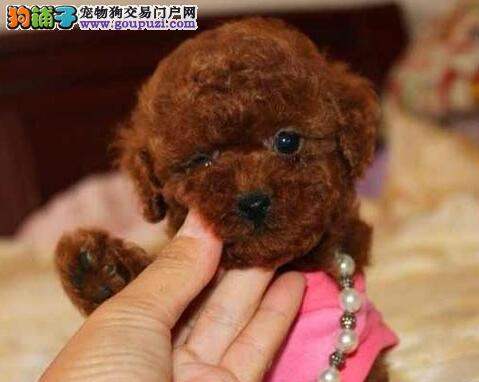 重庆纯种泰迪熊幼犬热售中 签协议送用品可送货上门