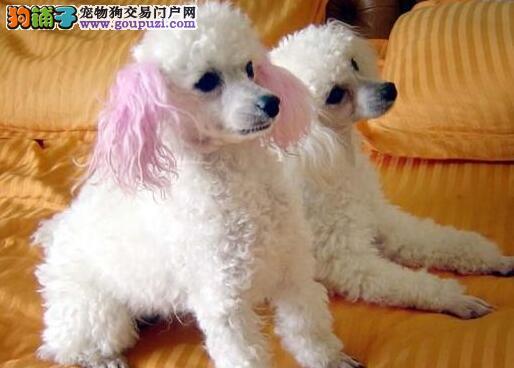 上海市出售贵宾犬幼犬 健康保障三个月 血统终身保障