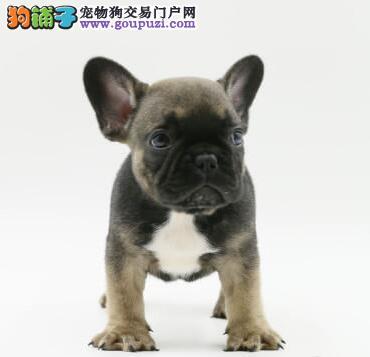 自家繁殖的法国斗牛犬宝宝 随时可视频看狗赛级血统高2