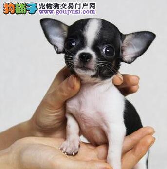 绵阳大型犬业促销纯种吉娃娃金鱼眼超小体