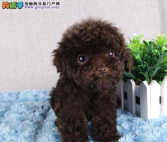 深圳本地犬舍出售韩系血统泰迪犬 纯种血统有证书1