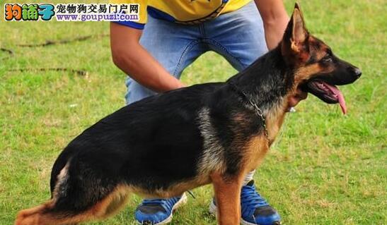 顶级精品福州德国牧羊犬特价出售公母都有有血统证书