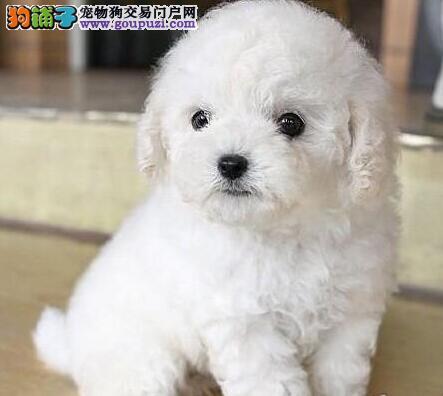 广州售纯种贵宾犬贵妇卷毛泰迪犬幼犬欢迎选购