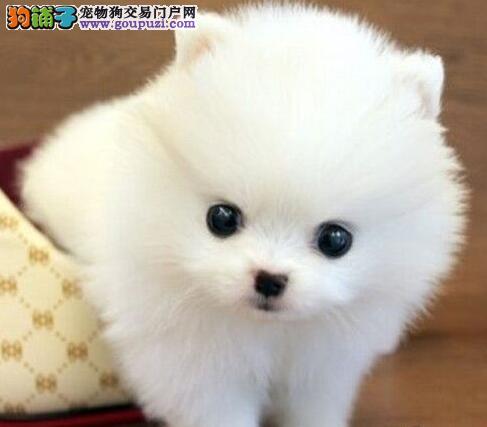 出售正宗血统优秀的郑州博美犬诚信经营三包终身协议