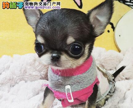 超可爱吉娃娃宝宝 吉娃娃幼犬 低价出售