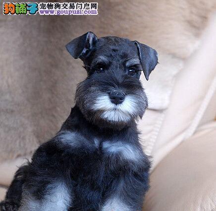 出售魅力四射机警又活泼的迷你南京雪纳瑞犬 非诚勿扰