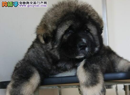 济南养殖场繁殖出售纯种高加索犬 爱狗人士优先选购犬