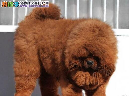 深圳什么地方有专业的狗场深圳藏獒犬多少钱一只