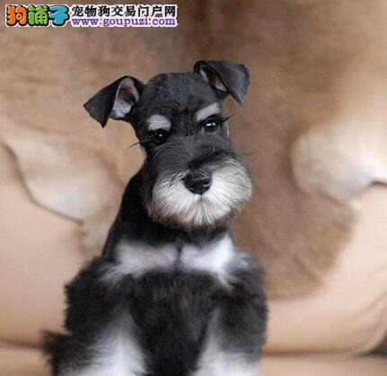 三个月大的济南雪纳瑞找新家啦 2~6窝幼犬可供挑选