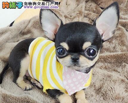 墨西哥苹果头 大眼睛吉娃娃幼犬八折质保出售