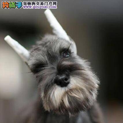 南京自繁自销纯种健康的雪纳瑞 大胡子小老头品相完美