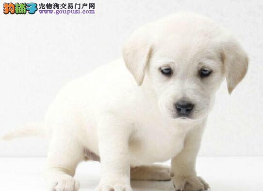 品相好血统纯的合肥拉布拉多犬找新家 放心选购幼犬