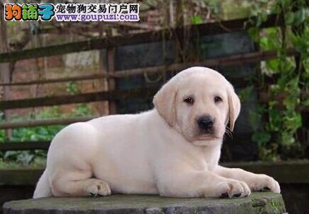 吉安最大的拉布拉多基地 完美售后爱狗人士优先狗贩勿扰