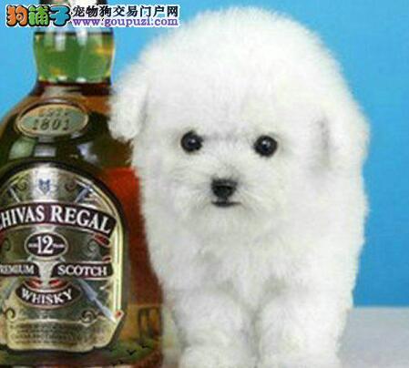出售极品优秀泰迪犬 韩系血统青岛附近可送上门3