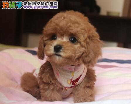 汉中家养纯种泰迪犬超萌长相可爱听话红色黑色泰迪熊