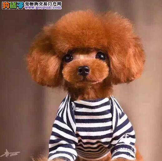 专家告诉你如何让孩子与泰迪犬做到和谐相处5