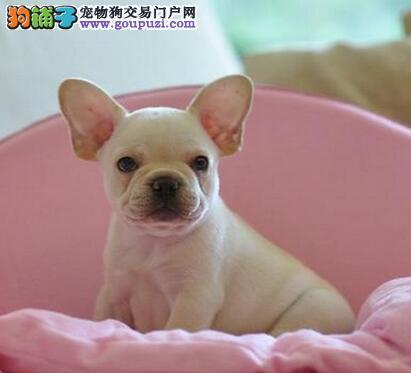 国外引进武汉顶级高品质法国斗牛犬出售 可视频健康纯
