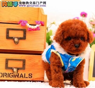 烟台养殖场出售深红色的泰迪犬 建议大家上门看狗选择1