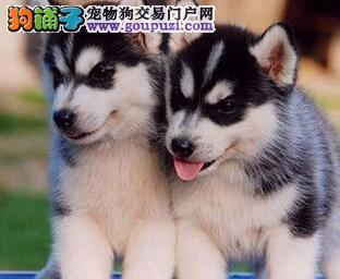 专业犬舍出售精品绵阳哈士奇犬可放心购买1