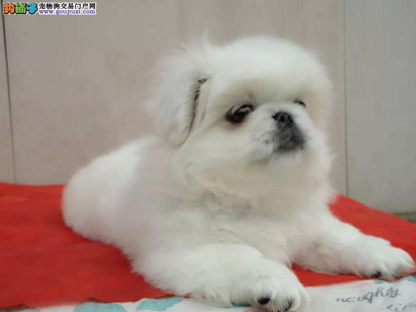 京巴幼犬 纯种健康专业狗场繁殖 签协议 可送货上门
