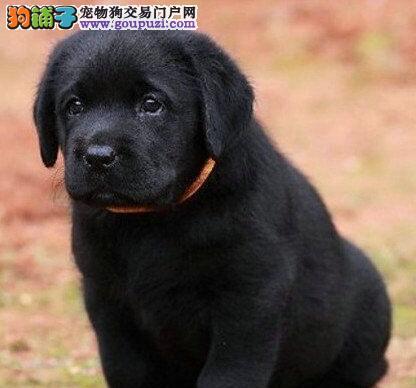 深圳拉布拉多犬 纯种保终身疫苗做齐、签订协议