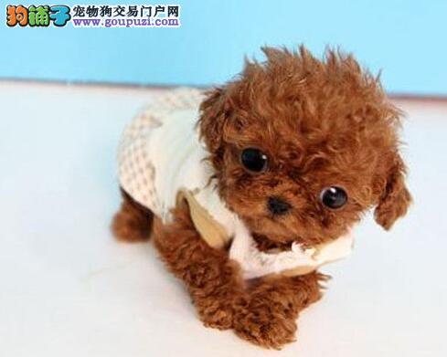 极品韩国血统泰迪犬特价转让 欢迎来广州犬舍购买3