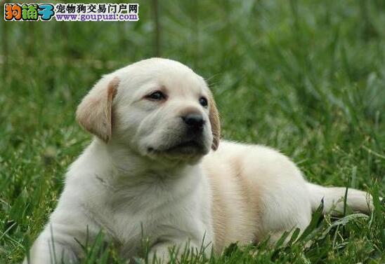 长沙本地狗场直销纯血统拉布拉多犬 可空运发货