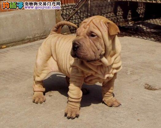 斗犬之王 沙皮犬深圳专业犬舍纯种沙皮犬 欢迎订购