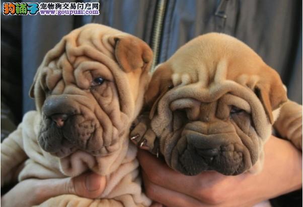 南宁专业的沙皮狗犬舍终身保健康我们承诺售后有保障